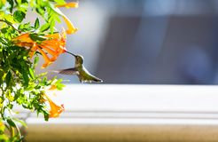 Hummingbird in flight near the flowers, Las Vegas, Nevada, USA. With selective focus. Hummingbird in flight near the flowers, Las Vegas, Nevada, USA. With royalty free stock photography