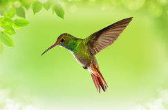 Hummingbird in Flight over Bright Green Background Royalty Free Stock Images