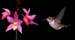 Hummingbird in Flight Panoramic View Royalty Free Stock Photo