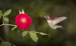 HUMMINGBIRD in Flight and RED ROSE Stock Photos