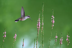 Hummingbird in Flight in Search of Nectar Flowers Royalty Free Stock Photo