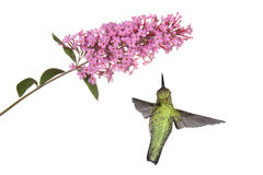 Hummingbird floats under a butterfly bush Royalty Free Stock Photo
