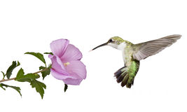 Hummingbird floats under a butterfly bush. Hummingbird floats backwards from a pink rose of sharon flower; profile view; wings spread back; tail fluffed; white stock images