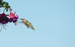 Hummingbird on flower. Royalty Free Stock Photos