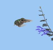 Hummingbird and Flower. Hummingberd zooming in on a blue flower Stock Photography