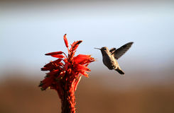 Hummingbird and flower Stock Photos