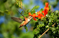 Hummingbird and flower Royalty Free Stock Photos