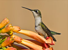 Hummingbird & Flower. Hummingbird sitting on flower resting royalty free stock image