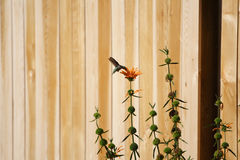 Hummingbird on a flower Royalty Free Stock Image