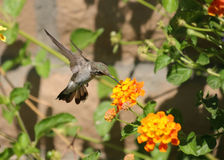 Hummingbird and flower. Hummingbird sipping nectar from flower, motion frozen by shutter speed Royalty Free Stock Photos