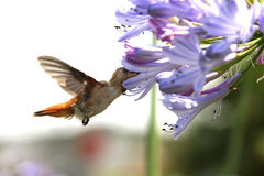 Hummingbird with flower. Close up of hummingbird flapping its wings as it hovers to sip on blue agapanthus flower Royalty Free Stock Photo
