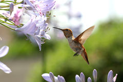 Hummingbird with flower. Close up of hummingbird flapping its wings as it hovers to sip on agapanthus flower Royalty Free Stock Image