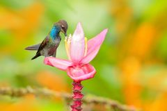 Hummingbird with flower. Bird sucking nectar from pink bloom. White-tailed Hillstar, Urochroa bougueri, hummingbird in nature on p. Ing flower, gren and yellow Stock Photography