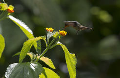 Hummingbird and flower. Hummingbird captured in flight. Photo taken in January, 2014, Asa Wright, Trinidad Stock Photography