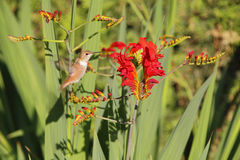 Hummingbird and Flower Royalty Free Stock Photo