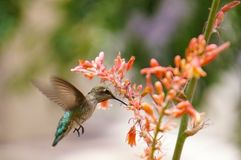 Hummingbird & Flower. A hummingbird is flying and feeding from a flower Stock Images