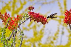 Hummingbird & Flower. A hummingbird is flying next to a red flower Stock Images