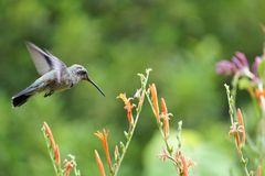 Hummingbird & Flower. A hummingbird is flying next to a red flower Royalty Free Stock Image