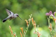 Hummingbird & Flower Royalty Free Stock Image