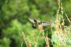 Hummingbird & Flower. A hummingbird is flying next to a red flower Royalty Free Stock Images