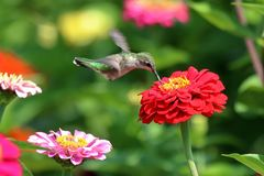 Hummingbird in Flower Garden. A female Ruby Throated Hummingbird flies about, sipping nectar from the brightly colored zinnias in my garden stock photo