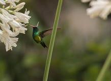Hummingbird in flower stock photos