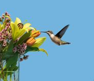 Hummingbird at flowers. A beautiful female ruby throat hummingbird in motion approaching a lovely bouquet of Spring flowers Stock Photo