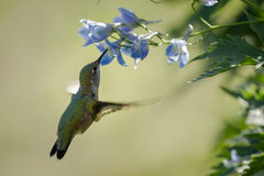 Hummingbird in flowers. Close up of a beautiful scene with a hummingbird fling feeding in blue flowers Stock Image