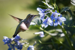 Hummingbird in flowers. Close up of a beautiful scene with a hummingbird fling feeding in blue flowers Royalty Free Stock Images