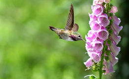 Hummingbird with flowers of purple foxglove Royalty Free Stock Photo