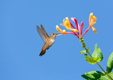 Hummingbird in fly Stock Photography