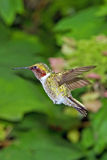 Hummingbird Flying Stock Image