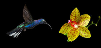 Hummingbird flying against black background Stock Photos