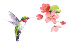Hummingbird flying around Flowers Watercolor Royalty Free Stock Images