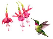 Hummingbird flying around Fuchsia Flowers Watercolor Bird Illustration Hand Drawn Stock Image