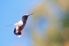 Hummingbird Flying with Blurred Wings. A hummingbird flying through the air with wings moving so fast as to be a blur Stock Photo