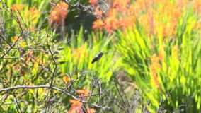 Hummingbird flying in a field of flowers stock video footage