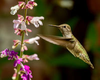 Hummingbird Flying With Flowers Royalty Free Stock Photo