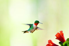 Hummingbird flying near flower Royalty Free Stock Photography