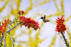 Hummingbird & Flower. A hummingbird is flying next to a red flower Royalty Free Stock Photography