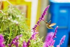 Hummingbird flying next to purple flower Royalty Free Stock Photos