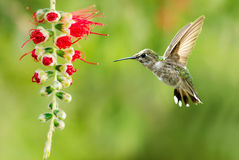 Hummingbird Flying over Green Background Royalty Free Stock Photo