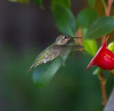 Hummingbird flying towards feeder Royalty Free Stock Photography