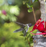 Hummingbird flying towards feeder Stock Photos