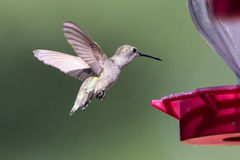 Hummingbird flying towards nectar feeder Royalty Free Stock Photos