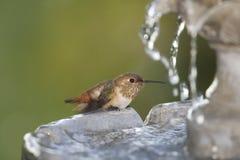 Hummingbird at Fountain Royalty Free Stock Photos