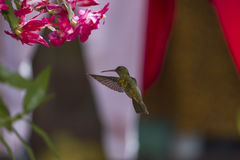 Hummingbird. In front of the flower Royalty Free Stock Photo