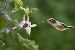 Hummingbird & Fushias Stock Images