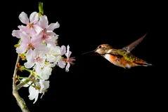 Hummingbird in the garden spring concept Royalty Free Stock Photo