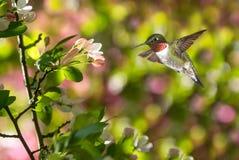 Hummingbird in the garden Royalty Free Stock Photo